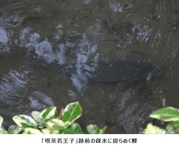 喫茶若王子跡前の疎水に揺らめく鯉